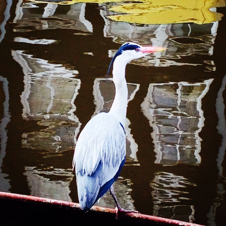 Blue Heron Reflected in Amsterdam